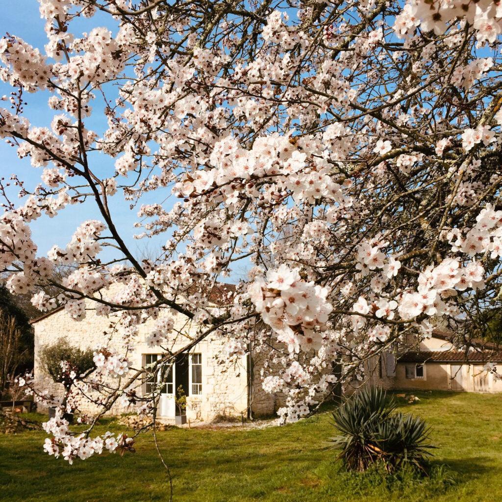 Prunus flowers with stone house behind